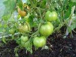 Фитофтороз - болезнь томатов