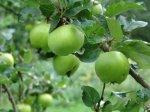 Как вырастить плодовое дерево.