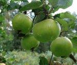 Что такое нормирование урожая плодов