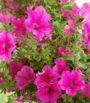 Сад непрерывного цветения многолетников