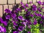 Романтический сад в синем цвете
