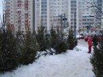 Как сохранить живую елку