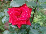 Чайно-гибридные розы для начинающих