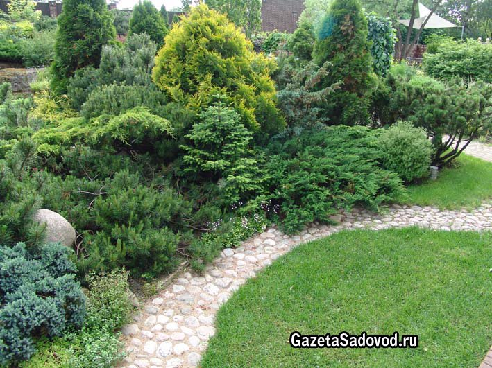 Хвойные растения в саду хвойные