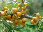 Пора черенкования ягодных культур
