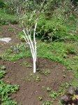 О содержании приствольных кругов плодовых деревьев