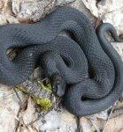 Змеи в наших лесах