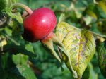 Шиповник из семян