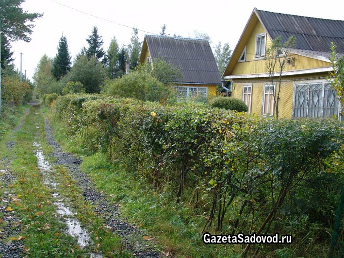 Живая изгородь на участке ваш сад