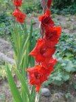 Гладиолус, или шпажник (Gladiolus)