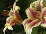 Лилия (Lilium)