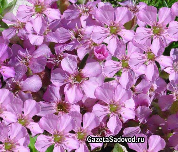 цветы евразии фото