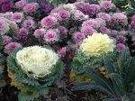 Декоративная капуста – овощ или цветок?