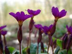 Примула, или первоцвет, баранчики (Primula)