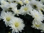 Хризантема (Chrisanthemum)