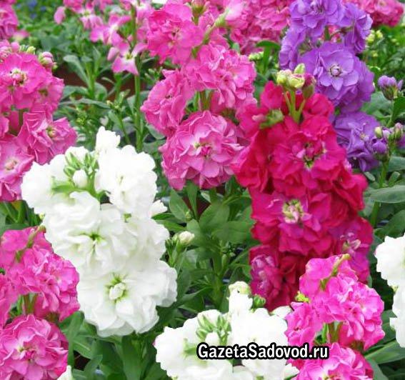 Левкой одно из древнейших цветочных
