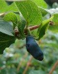 Жимолость: сорта и агротехника