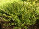Мелисса: выращивание, уход