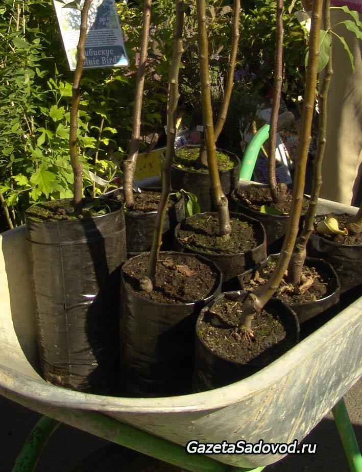 Выращивание саженцев с закрытой корневой системой