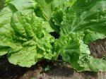 Салат: уход, выращивание
