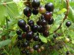 Сорта черной смородины для Северо-Запада