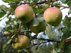 Как обновить старое плодовое дерево