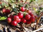 Сорта нетрадиционных ягодных культур – брусника, клюква, голубика