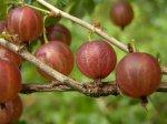 Ранние сорта ягодных культур