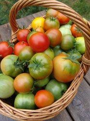 Как правильно выбрать сорт томата