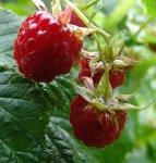 Весенняя обрезка ягодных культур