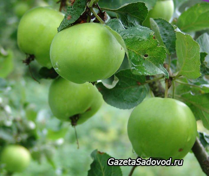 Мох на плодовых деревьях