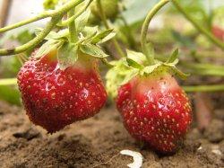 Ускоренное выращивание рассады земляники