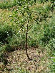 На какую глубину следует обрабатывать почву в приствольных кругах плодовых деревьев?