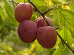 Обрезка косточковых – сливы и вишни
