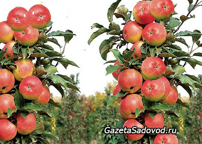 Секретов хорошего урожая яблок / яблони / 7dach ru
