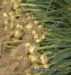 Бурты, траншеи, ямы – храним овощи
