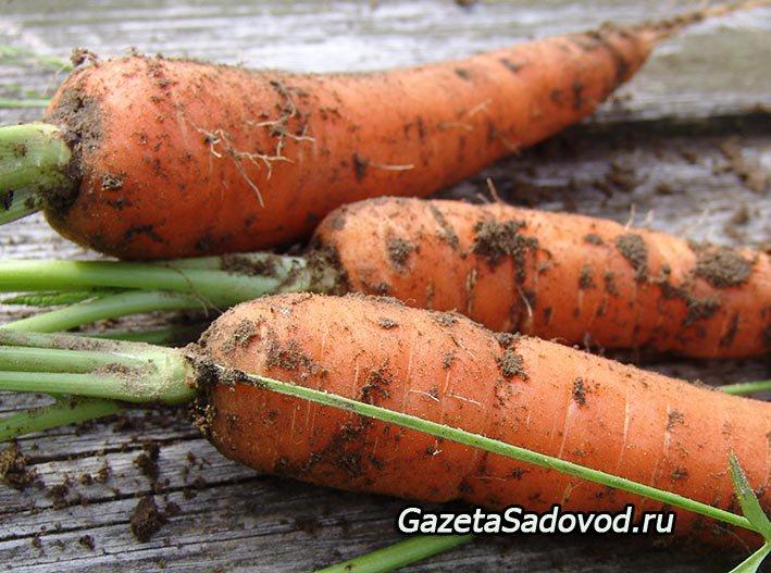 Способ посадки моркови