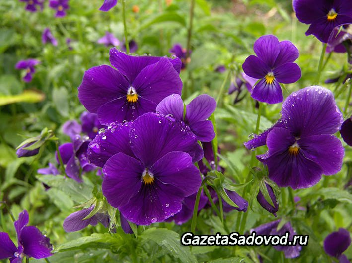 Двулетние цветы название описание классификация  фото