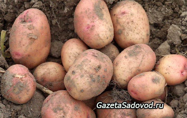 Картофель выращивание и болезни 81