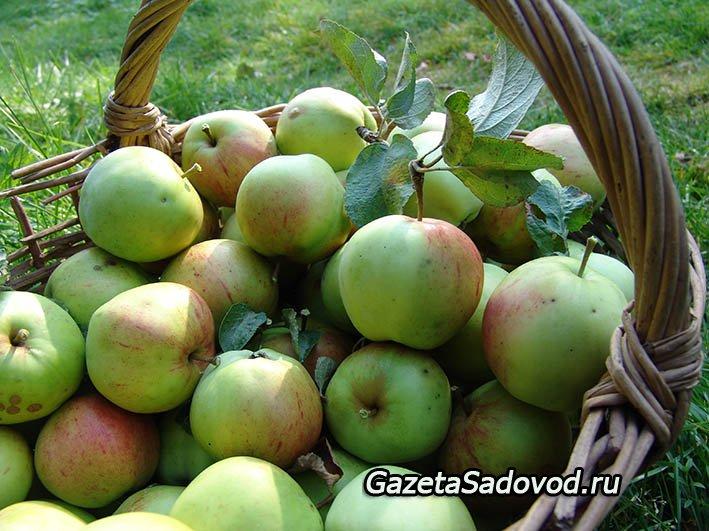 Некоторые яблони начинают