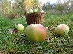 Слаборослые яблони в Ленинградской области
