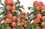 Уход за колоновидными яблонями