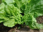Салат. От биологии к агротехнике