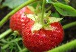 Садовая земляника: понемногу обо всем