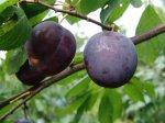 Основные причины осыпания плодов сливы