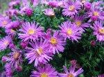 Как сохранить окорененный черенок хризантемы до весны?