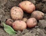 О сохранении картофеля в течение долгого времени (Земледельческая газета 1843г.)