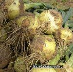 Репчатый лук из семян за один сезон
