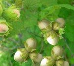 Выращивание орешника