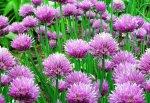 Шнитт-лук: свежая зелень круглый год